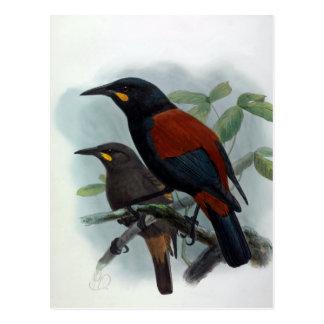 New Zealand  Saddleback Vintage Bird Illustration Postcard
