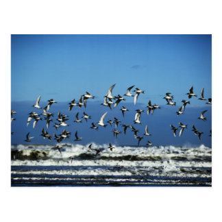 New Zealand, South Island, seagulls flying over Postcard