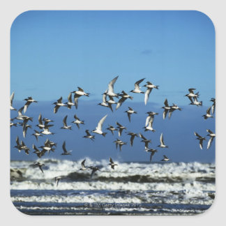 New Zealand, South Island, seagulls flying over Square Stickers