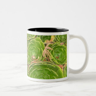New Zealand, South Island. Succulent. Two-Tone Coffee Mug