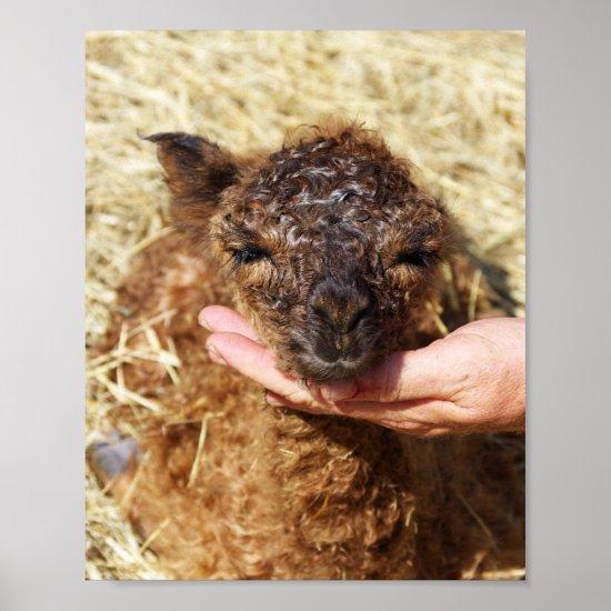 Newborn Alpaca Poster