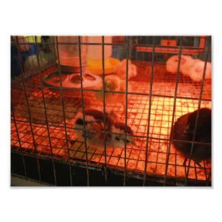 Newborn Baby Chick in Incubator Photo Print