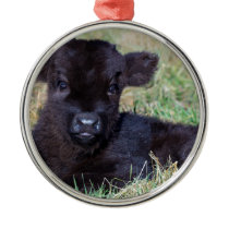 Newborn black scottish highlander calf lying metal ornament