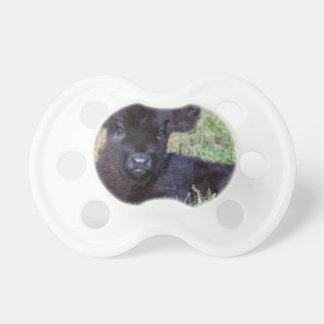 Newborn black scottish highlander calf lying pacifier