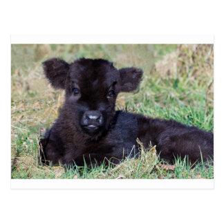 Newborn black scottish highlander calf lying postcard