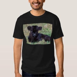 Newborn black scottish highlander calf lying shirt