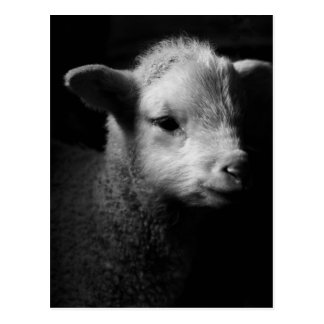 Newborn lamb in dramatic lighting. postcard