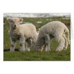 Newborn Lambs Greeting Cards