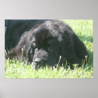 Newfoundland Dog Photo Print