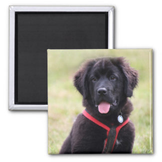Newfoundland dog puppy cute beautiful photo, gift 2 inch square magnet