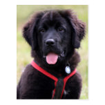 Newfoundland dog puppy cute beautiful photo post card