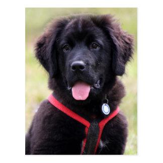 Newfoundland dog puppy cute beautiful photo post card