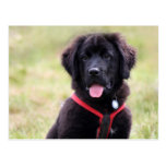 Newfoundland dog puppy cute beautiful photo post cards