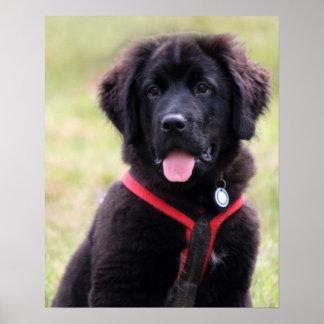 Newfoundland dog puppy cute photo beautiful print