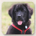 Newfoundland dog puppy cute photo, gift beverage coasters