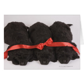 Newfoundland Puppies sleeping (Canis Card