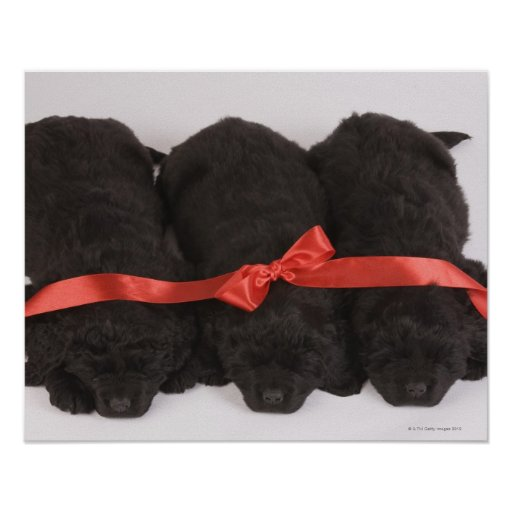 Newfoundland Puppies sleeping (Canis Posters