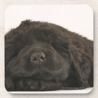 Newfoundland Puppy sleeping (Canis familiaris). Drink Coaster