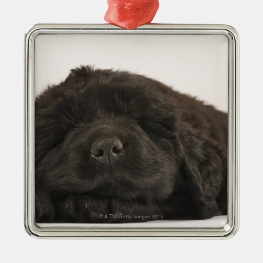 Newfoundland Puppy sleeping (Canis familiaris). Metal Ornament