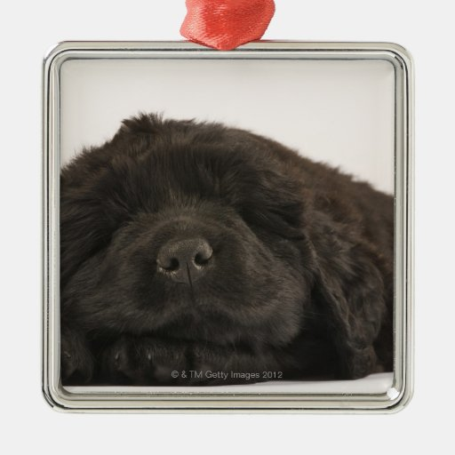 Newfoundland Puppy sleeping (Canis familiaris). Square Metal Christmas Ornament