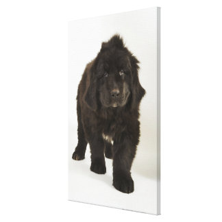 Newfoundland puppy, studio shot canvas print