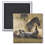 Ngorongoro Crater, Tanzania, Common Zebra, Equus Magnet
