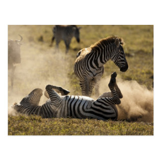 Ngorongoro Crater Tanzania Common Zebra Equus Post Cards
