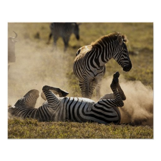 Ngorongoro Crater, Tanzania, Common Zebra, Equus Poster