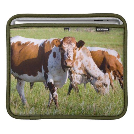 Nguni Cattle, Dawsons Lodge, Near Badplaas iPad Sleeves