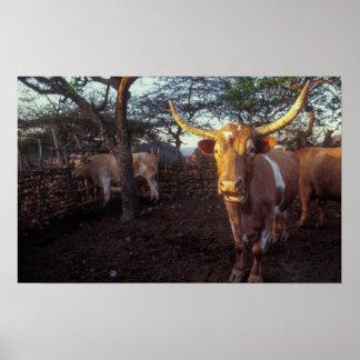 Nguni Cattle In Enclosure, Shakaland, Eshowe Print
