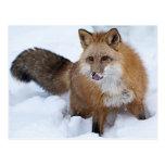 Ni del Fox rojo la nieve Postal