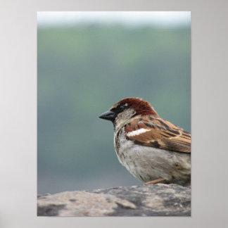 Niagara Falls Sparrow Poster