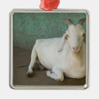 Nicaragua, Granada. Cabra que descansa sobre el pó Ornamentos Para Reyes Magos