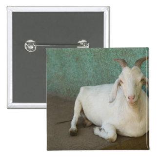 Nicaragua, Granada. Goat resting on porch in Button