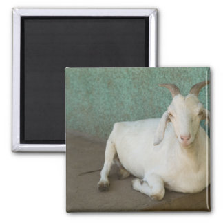 Nicaragua, Granada. Goat resting on porch in Refrigerator Magnets