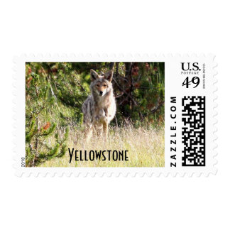 Nice Coyote photo in Yellowstone Stamp