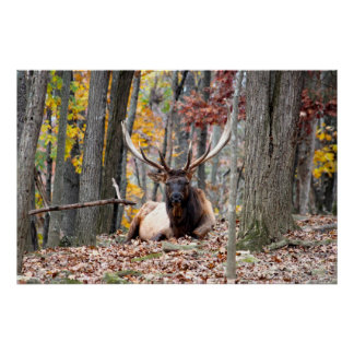 Nice Photo of a Bull Elk resting in the fall. Print