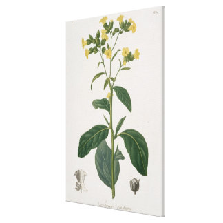 Nicotiana from 'Phytographie Medicale' by Joseph R Canvas Print
