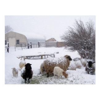 Nieve de las ovejas en abril postal