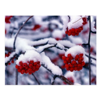 Nieve en bayas europeas de la ceniza de montaña, tarjeta postal