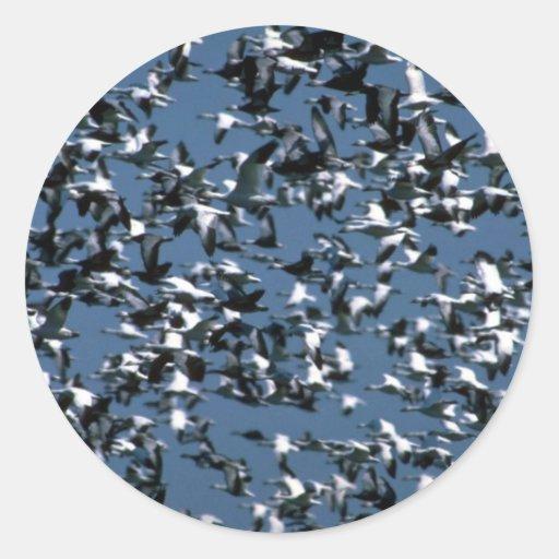 Nieve y gansos azules, manada enorme en vuelo pegatinas redondas