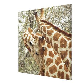 Niger, Koure, dos jirafas en arbustos en el oeste Impresiones En Lona Estiradas