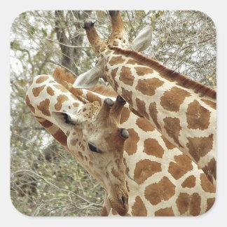 Niger, Koure, dos jirafas en arbustos en el oeste Pegatina Cuadrada