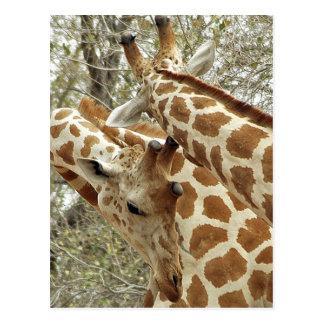 Niger, Koure, dos jirafas en arbustos en el oeste Postales