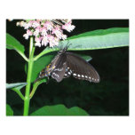Night Butterfly Black Swallowtail Nature Photo