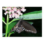 Night Butterfly Black Swallowtail Nature Photo Postcard