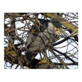 Night Heron in Tree Postcard