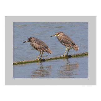 Night Herons Postcard