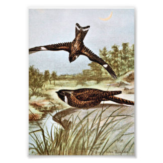 Nighthawk and Whipporwhil Art Photo