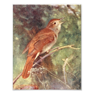 Nightingale Singing Photo